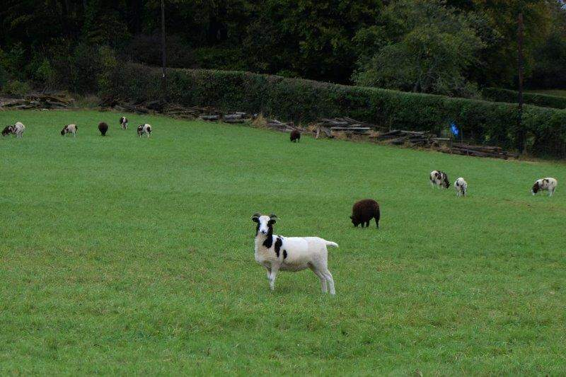 We enter Woodchester Park watched by a small flock of Jacobs Sheep