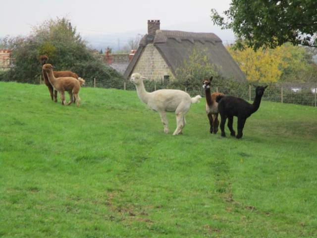 And alpacas