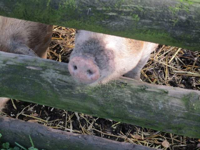 Snouts through the fence