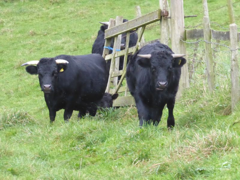 Attracting the interest of the cattle