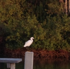 Collier County egret