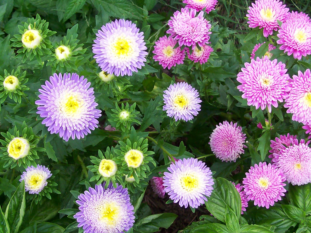 Aster Powder Puff Mixed Colors 01 G Southern Exposure