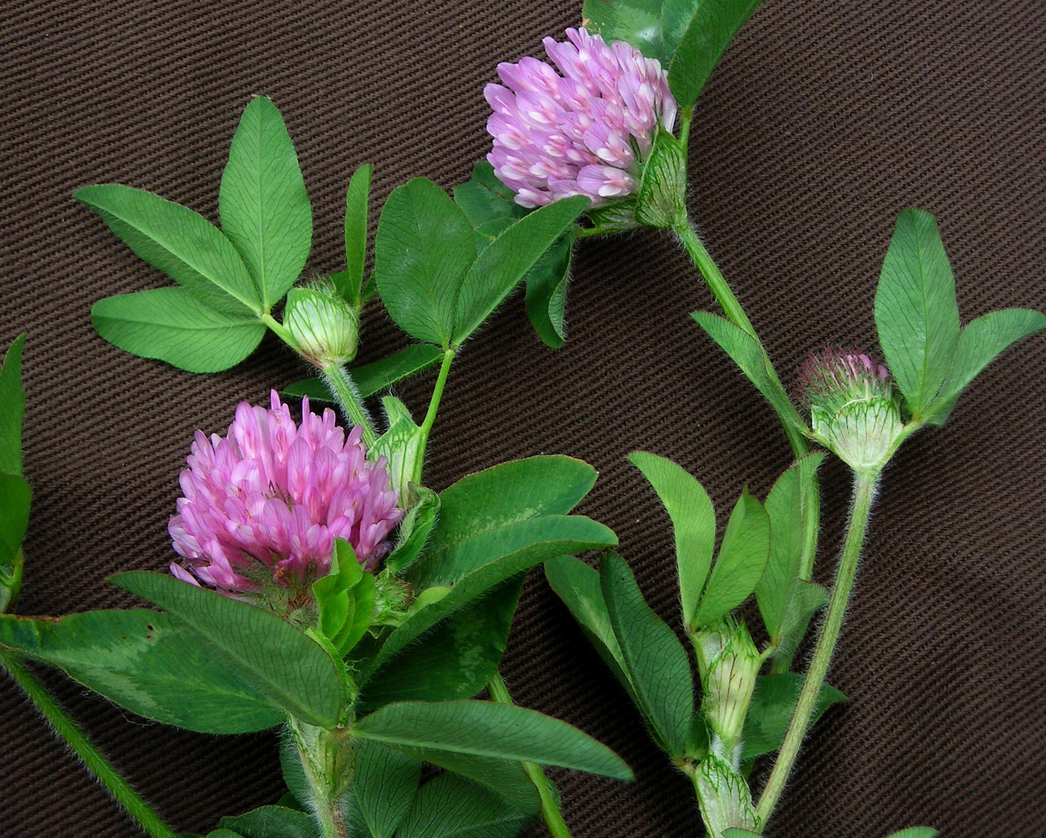Clover Red 14 lb  Southern Exposure Seed Exchange Saving the Past for the Future