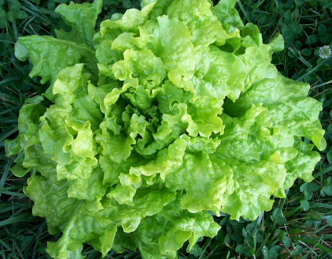 Black-Seeded Simpson Looseleaf Lettuce