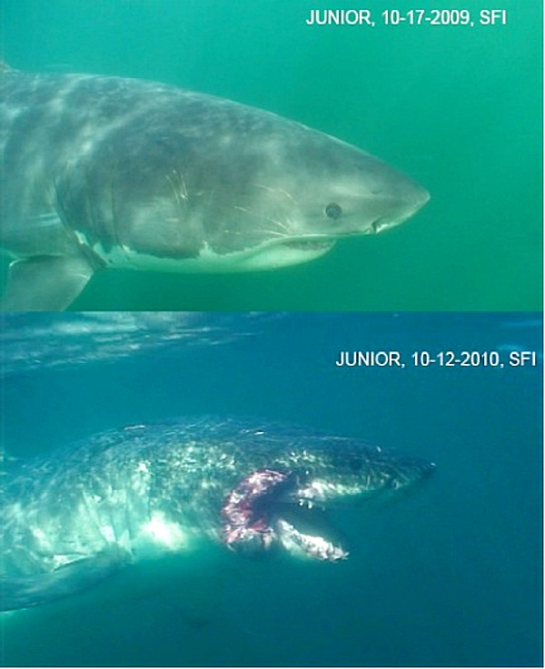 Severely injured great white shark found, are scientists