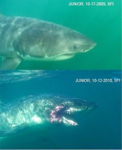 Severely injured great white shark found, are scientists responsible