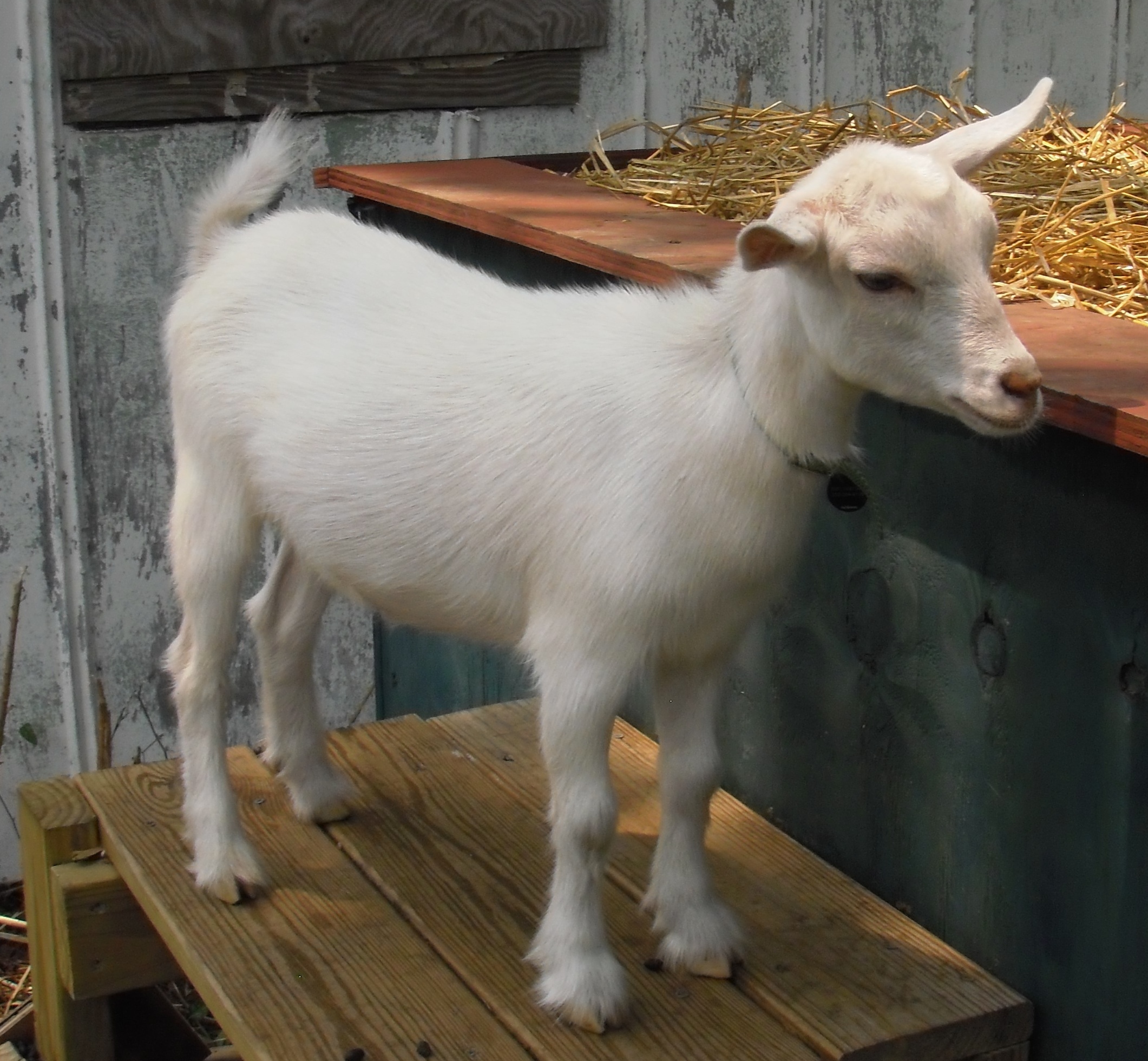 adventures in backyard agriculture dwarf goats southern fried