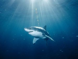 Great White Shark. Image courtesy animals.NationalGeographic.com