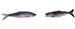 juvenile salmon & Pacific herring
