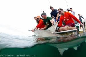 WhySharksMatter and his lab attaching a satellite tag to a great hammerhead shark in the Florida Keys. Photo credit: Christine Shepard
