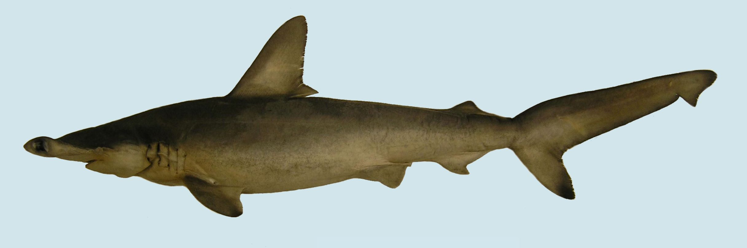 what does the new species of hammerhead mean for shark science and