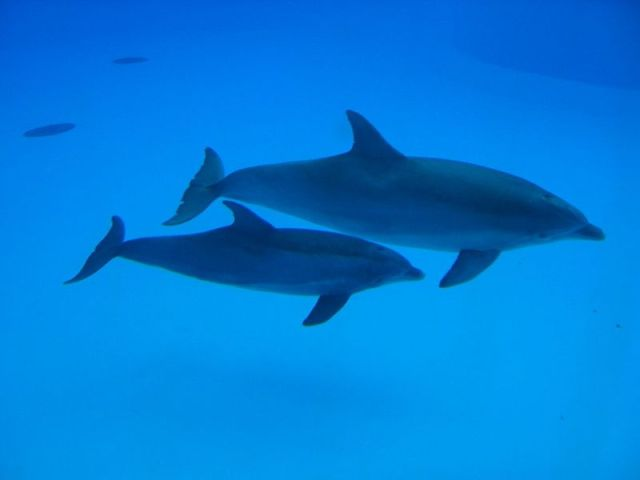 Dolphins. Note that this is a top view, distorting the tail, but you can clearly see the lack of a 2nd dorsal fin and the relative placement of dorsal and pectoral fins. WikiMedia Commons, user Arnaud 25