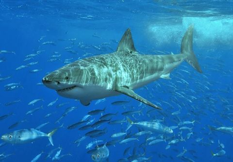 Photo of a great white shark in Mexico by Terry Goss, WikiMedia Commons. http://commons.wikimedia.org/wiki/File:White_shark.jpg