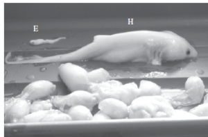 "Figure 1 from Chapman et al. 2013. ""Size differential between the hatchling (H) and embryo(E)."