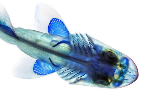 A cleared and stained leopard shark, Triakis semifasciata. Image from Adam Summers
