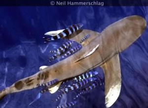 An oceanic whitetip shark. Photo credit: Dr. Neil Hammerschlag