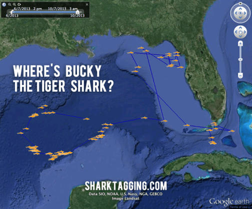 The movements of Bucky Badger the tiger shark, named by a U Wisconsin alumnus.