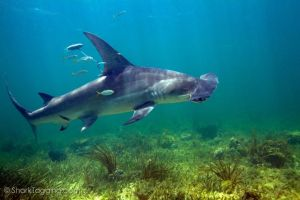 One of our satellite-tagged hammerhead sharks. Photo credit Dr. Evan D'Allessandro