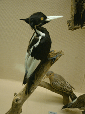 Can you imagine the conservation nightmare if we had declared the Ivory-Billed Woodpecker extant based on just a few photographs and recordings? This image below is a photo I took of a specimen in the Louisiana State University Museum of Natural Science collections.