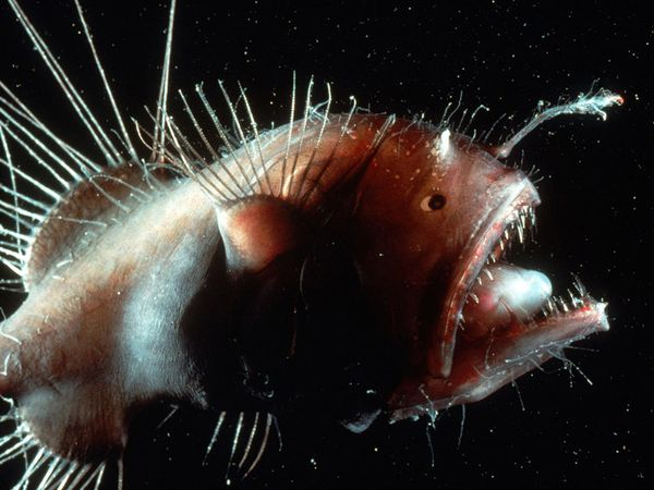 Yellow Anglerfish. Photo from National Geographic.