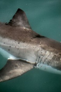 Prop, recovering from a boat strike. http://www.dict.org.za/blogs/2010/06/first-study-of-shark-wound-healing/
