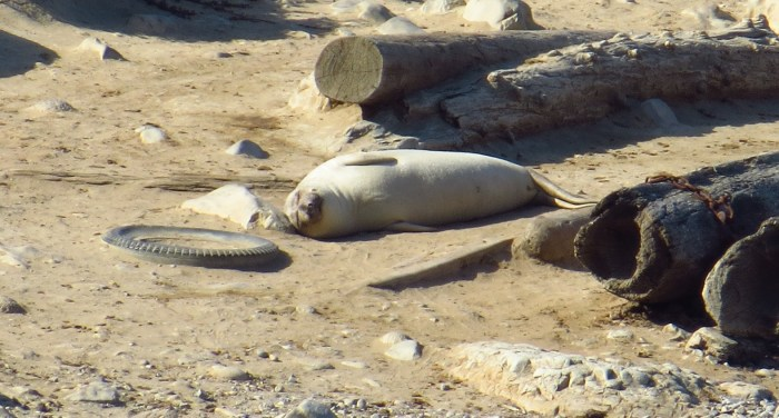 This is an incredibly satisfied elephant seal lying amid beach trash. Photo by author.