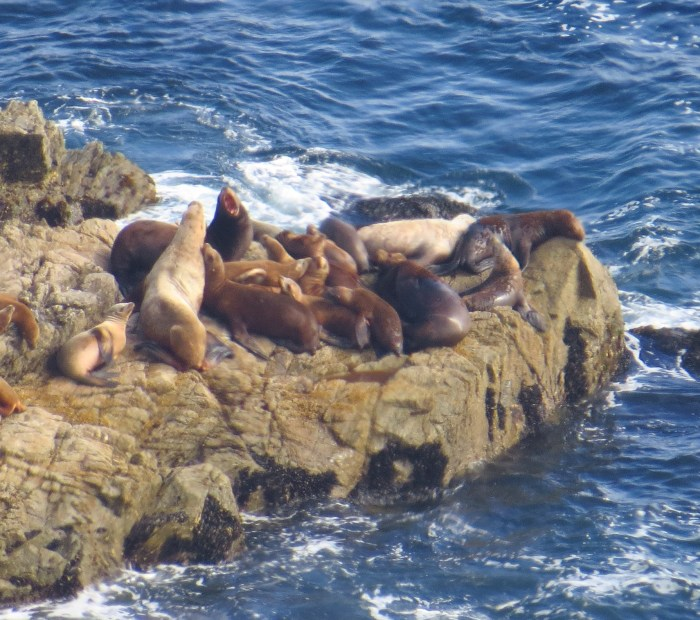 Sea Lions fight at Point Reyes. Photo by author.