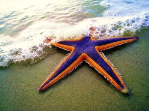 Royal starfish (Astropecten articulatus) on the beach. (Photo credit: TheMargue - http://www.fotopedia.com/items/flickr-2884079538)
