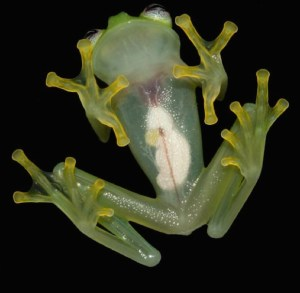 Glass frogs are tanslucent, so their organs are visible. (Photo credit: Brian Kubicki)