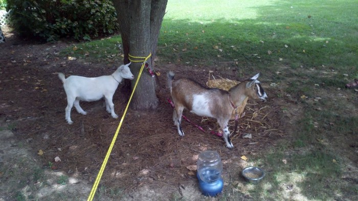 Goats on the run.