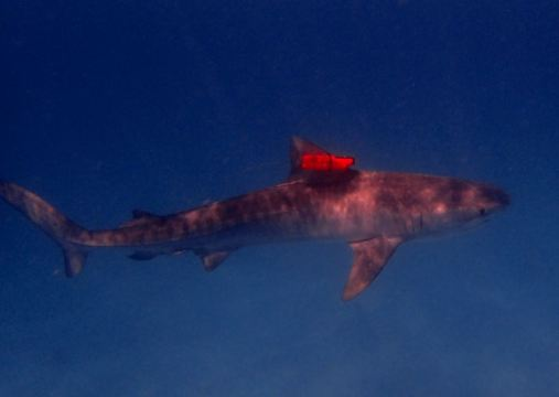A tagged female tiger shark at Ningaloo Reef last month (photo-credit Frazer McGregor)