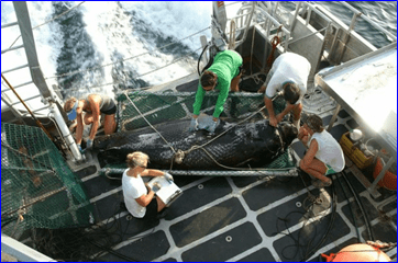 Scientists measure a Greenland shark in the Gulf of Mexico. Credit: Dean Grubbs, FSU.