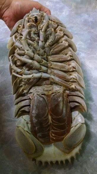 Giant Isopod. Photo by author.