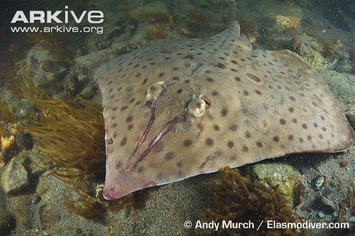 barndoor skates  once a textbook example of overfishing
