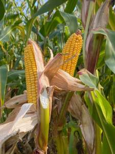 Maize cobs at 2021 open day
