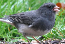 November Bird: Dark Eyed Junco