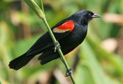 February: Red-Winged Blackbird