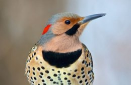 August Bird: Northern Flicker