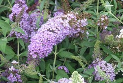 July Invasive: Butterfly Bush