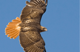 April: Red-Tailed Hawk