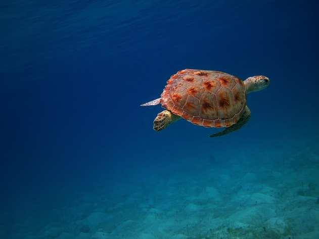 Turtle Swimming by Caneel