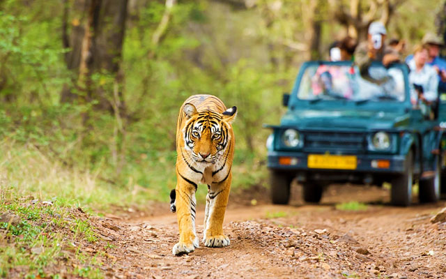 "A Bengal tiger (also called ""Royal Tiger"", Panthera tigris tigris) walking on a road in the Bandipur national park. In the background a car with tourists and photographers is visible."