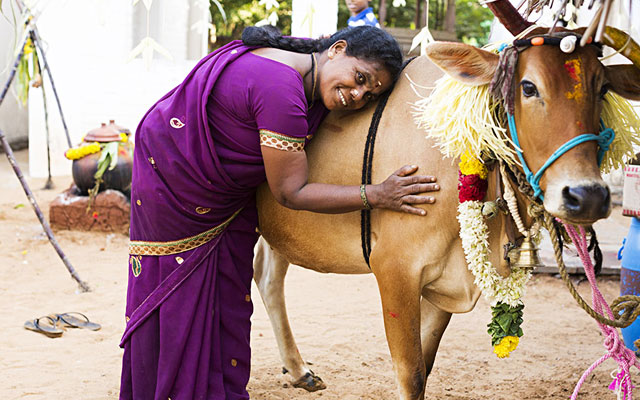 Domestic cows are decorated with flower garlands during Mattu Pongal