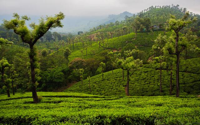 Beautiful Tea Plantations of Valparai   in Tamil Nadu, India