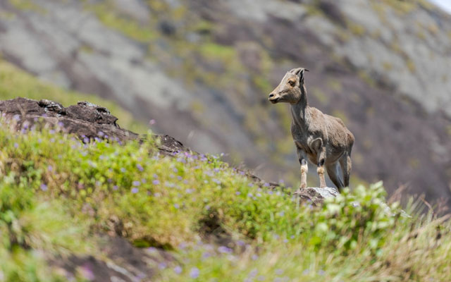 Nilgiri tahr mountain goat standing on rock in Eravikulam National Park in Kerala, South India on sunny day