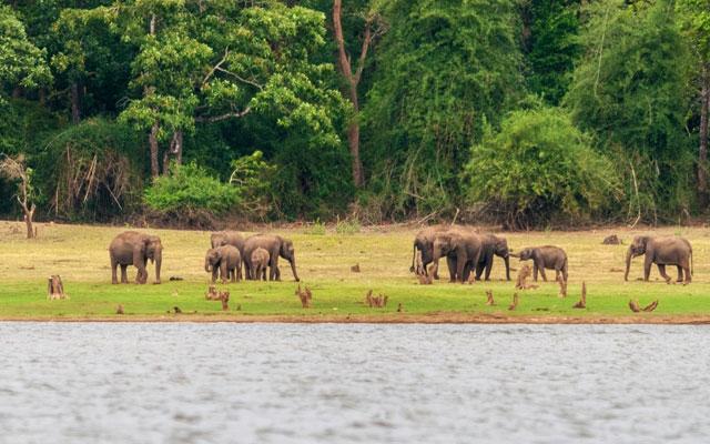Elephant Herd on the banks of Kabini Dam, Kabini, Nagarhole, Karnataka, India