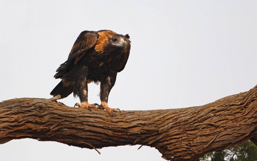 Image result for wedge tailed eagle high in dead gum