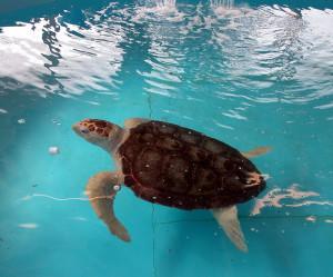 Foto di una tartaruga Caretta caretta