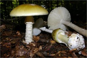 L'Amanita phalloides, uno dei funghi più velenosi.
