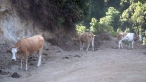 vacche-sacre-ndrangheta